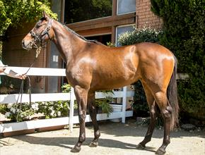 Gai's recent racehorse purchases